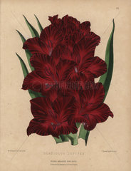 Crimson gladiolus Gladiolus Jupiter