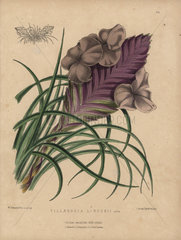 Airplant with lilac and mauve flowers Tillandsia lindenii