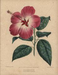 Pink and white hibiscus Hibiscus rosa sinensis albo-variegatus