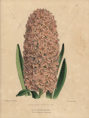 Salmon-pink hyacinth hybrid Hyacinthus Excelsior