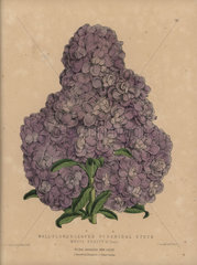Purple stock Mauve Beauty