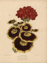 Pelargonium or geranium hybrids