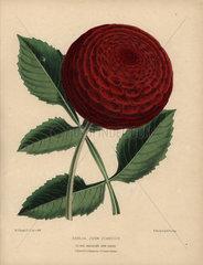 Crimson dahlia hybrid  John Standish