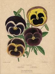 Varieties of fancy pansies