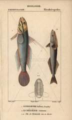 Blueband goby and remora