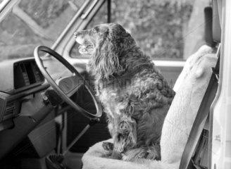 Hund hinter dem Steuer