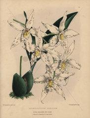 Odontoglossum denisonae orchid