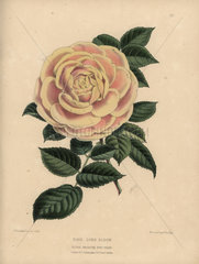 Pale orange and cream hybrid rose Lord Eldon