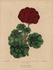 Crimson geranium Double-zonale pelargonium Jewel (Laxton)