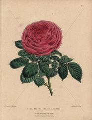 Scarlet rose Madame George Schwartz