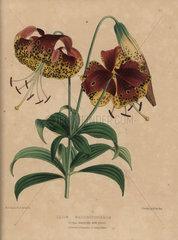 Crimson and yellow lily Lilium washingtonianum
