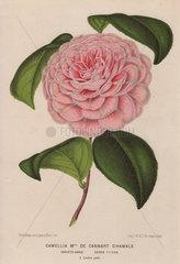 Camellia Madame de Cannart d'Hamale