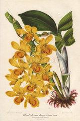Yellow dendrobium orchid Dendrobium chrysotoxum Lindl.