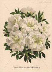 White azalea Azalea indica var. gardeniaeflora Lind.