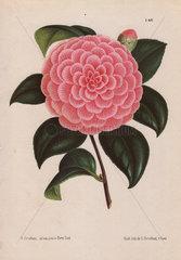Pink camellia hybrid Camellia Bertha Giglioli