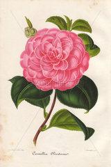 Pink camellia Olivetana Camellia japonica  Thea japonica