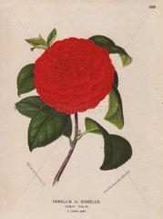 Scarlet camellia Il Giogello