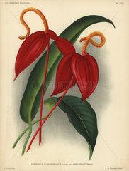 Crimson anthurium scherzerianum