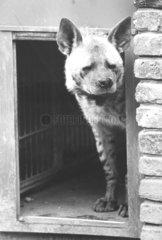 Hyaene blickt um die Ecke