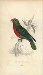 Red-naped parrakeet  Psittacus nuchalis