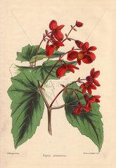 Begonia prestoniensis