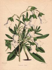 Campanula vidalii