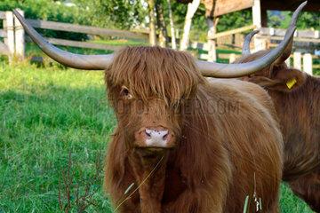 Schottische Hochlandrinder auf der Weide