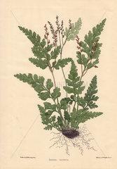 Aneimia cicutaria fern