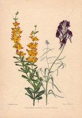Gastrolobium cuneatum and Linaria reticulata