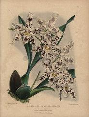 Hybrid odontoglossum orchid Odontoglossum andersonianum