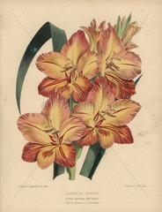 Orange and crimson gladiolus nestor