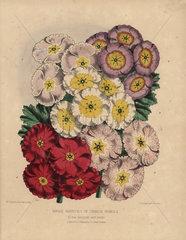 Single varieties of Chinese primula