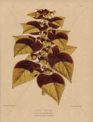 Hybrid coleus with beautiful leaves Coleus tryoni