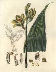 Woodfordian bletia Phaius flavus (Blume) Lindley (Bletia woodfordii)