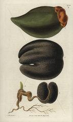 Double coconut or Seychelles Island cocoa-nut Lodoicea sechellarum