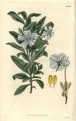 Solanum coriaceum Coliaceous solanum