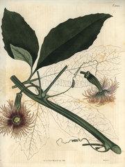 Female pedate feuillaea Feuillaea pedata