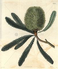 Rival banksia or wallum banksia Banksia aemula