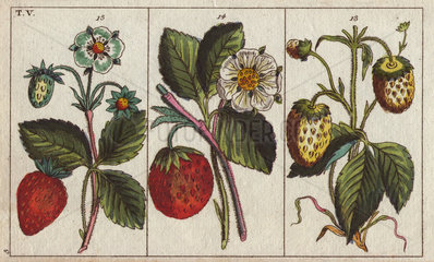 Varieties of strawberries with flowers and ripe and unripe fruits depicted. Fragaria sp.
