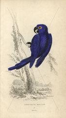 Deep blue maccaw  Anodorhynchus maximiliani