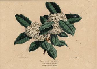Wintersweet or Bushman's Poison Acokanthera spectabilis (Toxicophlaea spectabilis)