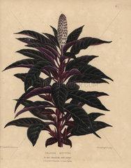 Amaranth or cockscomb Celosia huttoni