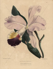Pink and purple cattleya orchid Cattleya mendeli