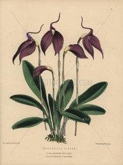Purple masdevallia orchid Masdevallia lindeni