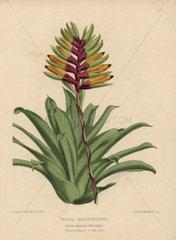 Vriesia brachystachys