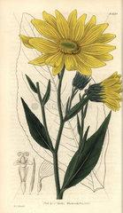 Helianthus pubescens Illinois sunflower
