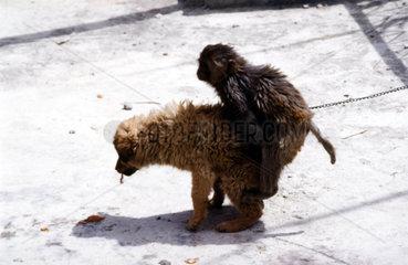 Affe und Hund kopulieren