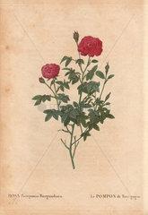 Burgundy rose with crimson fluffy flowers (Rosa Pomponia Burgundiaca). Le Pompon de Bourgogne.