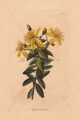 Hypericum canariense Canary Island St. Johnswort