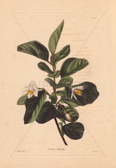 Styrax officinale White storax